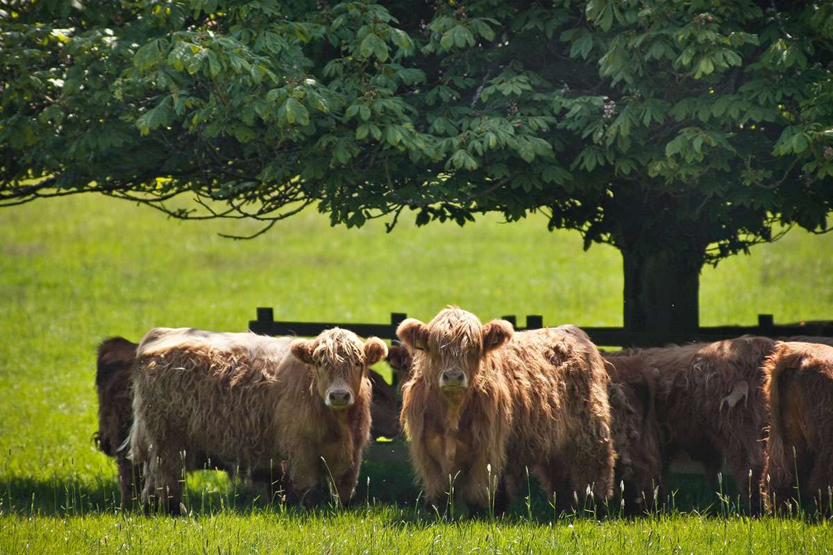 Teasses-highland-cows-organic-beef-fife-langraw-cattle
