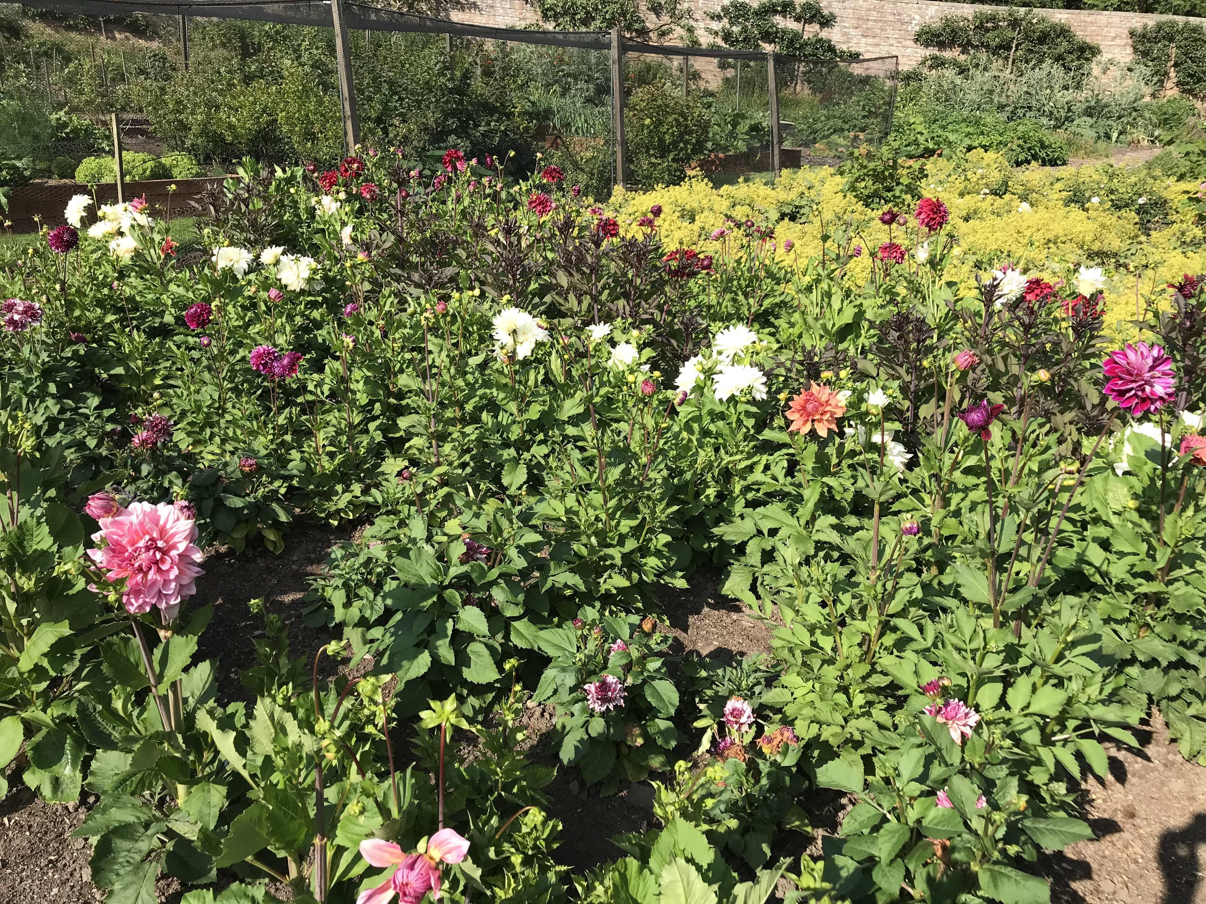 Teasses, Walled Garden, Dahlia, Teasses Estate