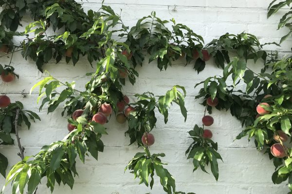 Peaches, Teasses, Greenhouse, July, Fruit