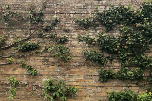 Teasses, Walled, Garden, Apple, Plum, Espalier, Fruit, Trained