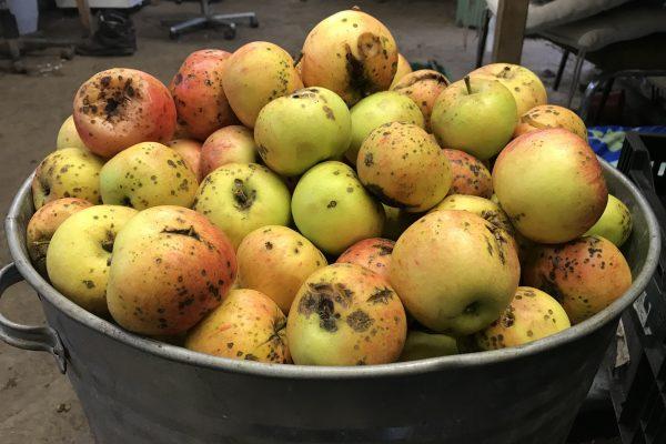 Discovery apple, Apple, Teasses, cider