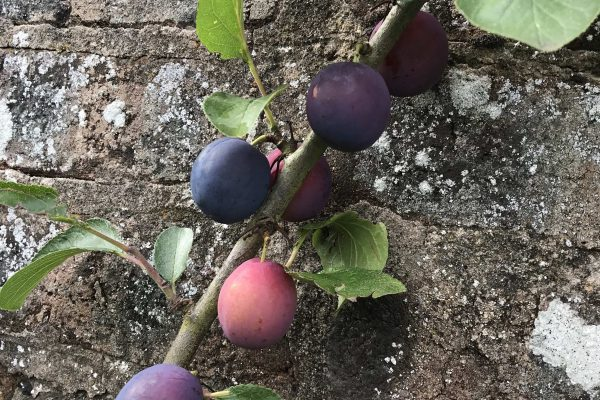 Plums on Wall