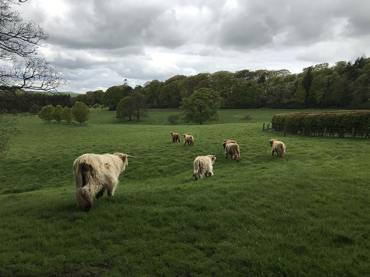 Highland Cattle; Teasses; Organic; Estate