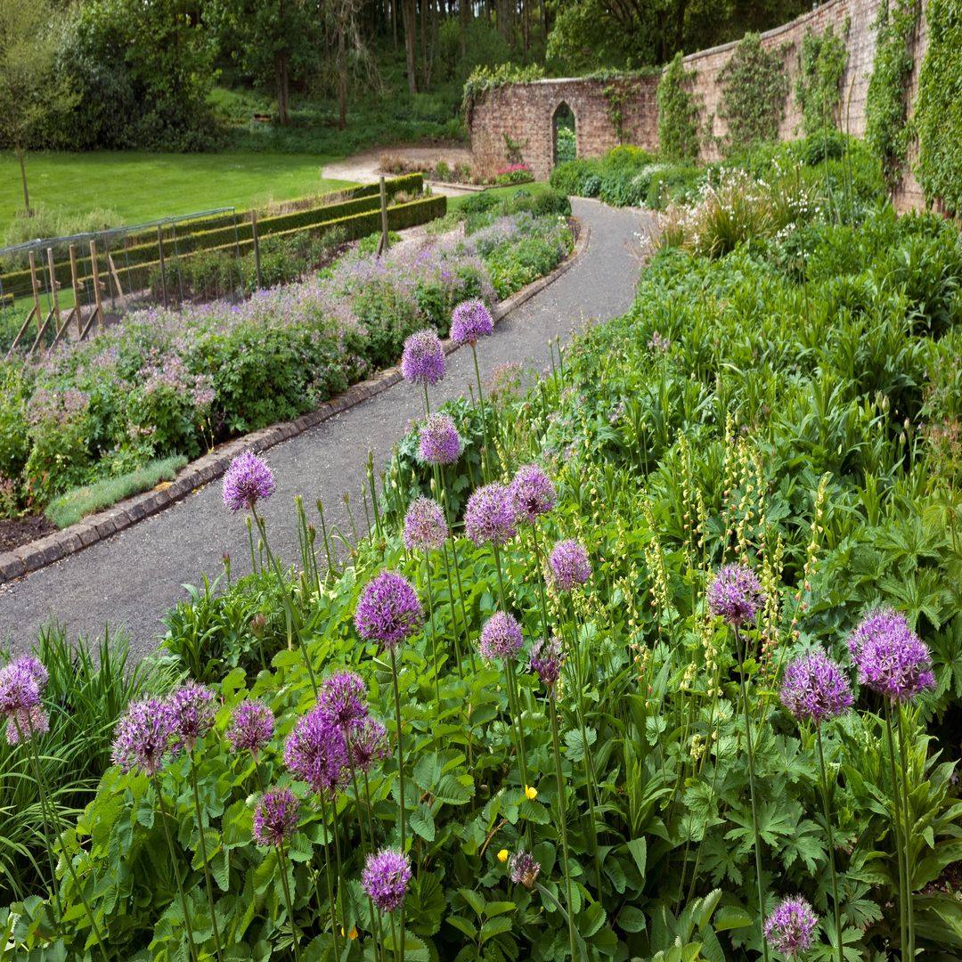 Wide curving early summer herbaceous border planted with Alliums, Sanguisorba, Tiarella and Geranium in the Walled Garden   Teasses Estate, Ceres, Fife