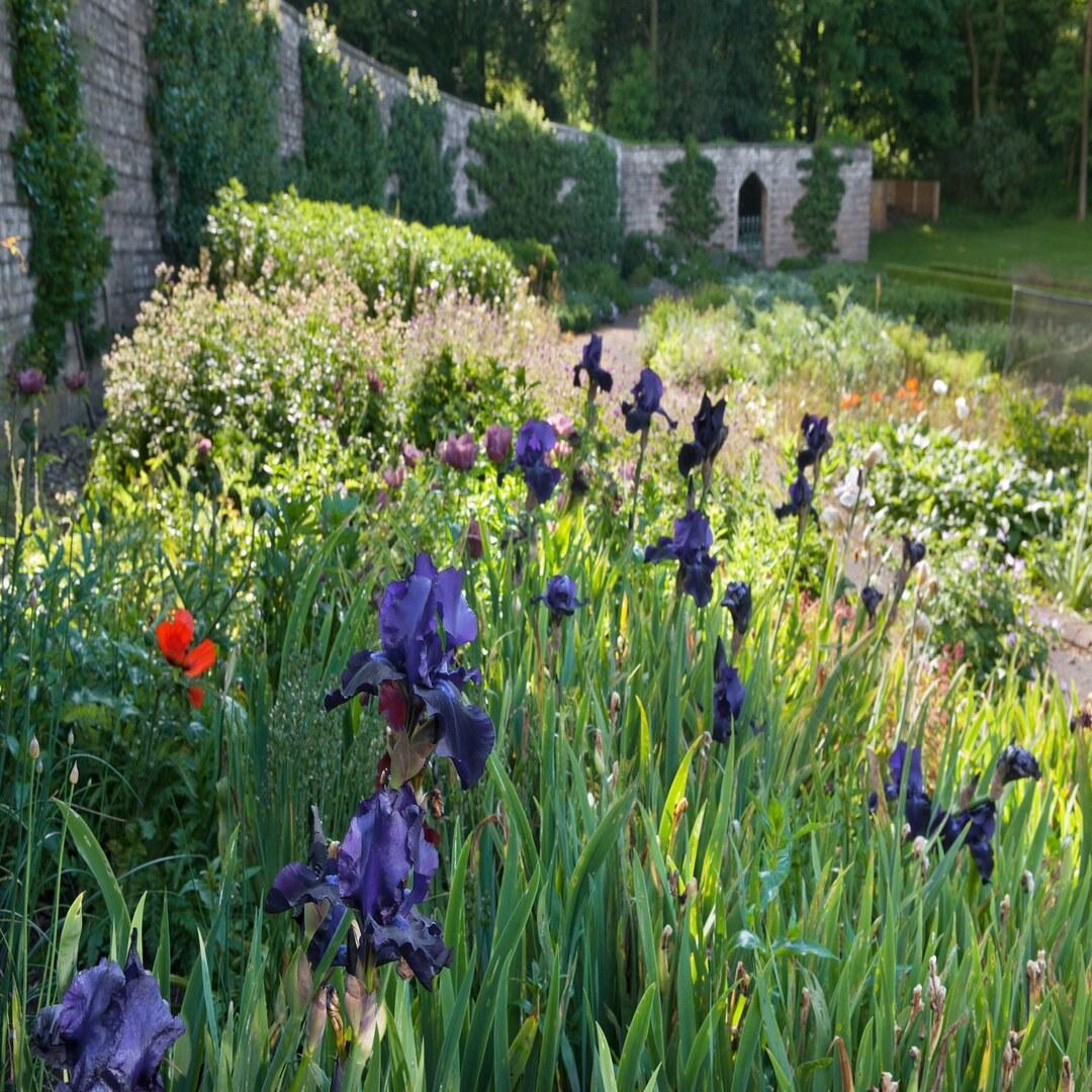 Flowering Iris in the Walled Garden herbaceous borders