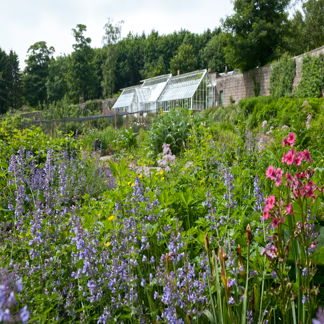 Nepeta and Primula in the Walled Garden with glasshouse
